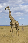 Young Giraffe Photos - Giraffe Mother And 3 Week Old Calf by Suzi Eszterhas