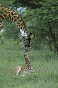 Young Giraffe Photos - Giraffe Mother And Newborn Ngorongoro by Suzi Eszterhas