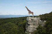 Out Of Context Posters - Giraffe On Clifftop Poster by Thomas Jackson