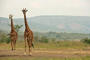 Giraffe Photos - Giraffe Pair by David Gardener