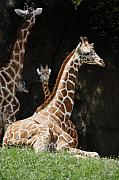 Julian Bralley Framed Prints - Giraffe Rest Framed Print by Julian Bralley