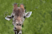 Dromedary Photos - Giraffe by Rudy Umans