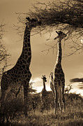 East Africa Prints - Giraffe Stretch Their Necks To Reach Print by Ralph Lee Hopkins