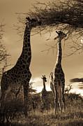 Giraffe Stretch Their Necks To Reach Print by Ralph Lee Hopkins