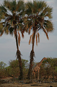 Giraffe Photos - Giraffe Under Palms by Bruce J Robinson