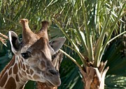 Naples Prints - Giraffe with Tree Print by Jack Scicluna