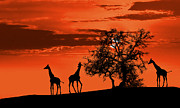 Tourism Digital Art Posters - Giraffes at sunset Poster by Jaroslaw Grudzinski