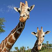 Giraffe Photos - Giraffes by Steven Sparks