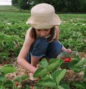 Crouched Prints - Girl Picking Strawberries Print by Michelle Quance