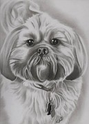 Lion Drawings Framed Prints - Gizmo - Shih Tzu Dog Breed Framed Print by Fred Larucci