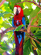 Honduras Framed Prints - Gizmo the Macaw Framed Print by Jerome Stumphauzer