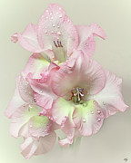 Gladiolus Photos - Gladiola Flower With Rain Drops by Flower photography by Viorica Maghetiu