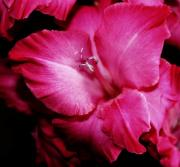 Gladiola Prints - Gladiola Glow Print by Cathie Tyler