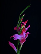 Gladiola Prints - Gladiola Opening Print by Sandy Keeton