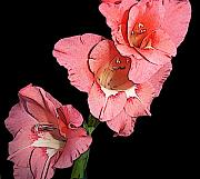 Greens Digital Art Framed Prints - Gladiolus Bloom Framed Print by Alpha Pup