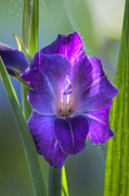 Gladiolus Photos - Gladiolus Bloom by Heiko Koehrer-Wagner
