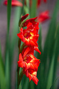 Red Gladiolus Photos - Gladiolus Illuminated by Douglas Barnett
