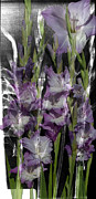 Montage Originals - Gladiolus X-ray Flower Montage  by Artisabella