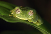 Tayrona Prints - Glass Frog Centrolene Tayrona, Sierra Print by Cyril Ruoso