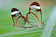 Love The Animal Prints - Glasswing Butterflies Mating Print by Aminart
