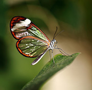 Grant Glendinning - Glasswing Butterfly