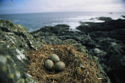 North Vancouver Framed Prints - Glaucous-winged Gull Nest With Three Framed Print by Joel Sartore