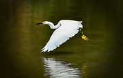 Great Egret Framed Prints - Glide on By  Framed Print by Saija  Lehtonen