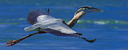Great Catch Posters - Gliding Great Blue Heron Poster by Sebastian Musial