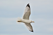Larus Delawarensis Photos - Gliding Gull by Joshua McCullough