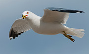 Ring-billed Gull Prints - Gliding... Print by Nina Stavlund