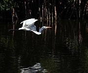 Snowy Egret Originals - Gliding Over the Mangrove by Joseph G Holland