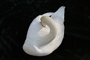 Julia Hiebaum Metal Prints - Gliding Swan Metal Print by Julia Hiebaum