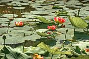 Brenda Giasson - Glistening Lotus Flowers
