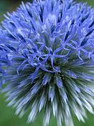 Fine Art Flower Photography Posters - Globe Thistle Poster by Juergen Roth
