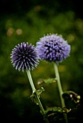 Purple Fireworks Prints - Globe Thistle Print by Odd Jeppesen