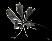 Flower Photos Framed Prints - Glorios Superba in Black and White Framed Print by Endre Balogh