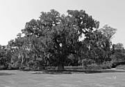 Southern Prints - Glorious Live Oak in black and white Print by Suzanne Gaff