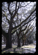 Live Oak Digital Art - Glorious Live Oaks with Framing by Carol Groenen