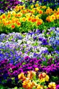 Flower Gardens Photos - Glorious Pansys by Karen Wiles
