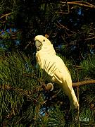 Pet Cockatoo Photos - glorious Pedro by Kcatia Creole Art