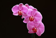 Orchid Artwork Posters - Glorious Pink Orchids Poster by Juergen Roth