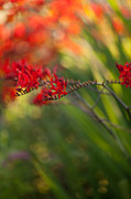 Flower Photos - Glorious Red by Mike Reid