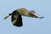 Legs Spread Photos - Glossy Ibis by Ira Runyan