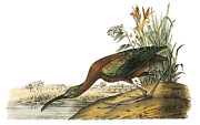 Shorebird Paintings - Glossy Ibis by John James Audubon