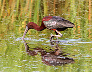 Phil Lanoue Acrylic Prints - Glossy Ibis Acrylic Print by Phil Lanoue