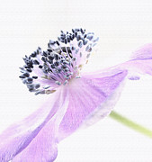 Purple Framed Prints - Glowing Anemone Framed Print by Kristin Kreet