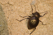 Beetle Photos - Glowing Coleoptera by Douglas Barnett