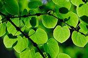 Glowing Heart Shaped Leaves Print by Hegde Photos
