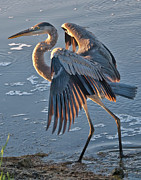 Pawleys Island Prints - Glowing in the Sun - Heron Print by Mike Covington
