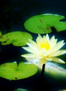 Nature Center Pond Prints - Glowing Lotus Print by Rhonda DePalma